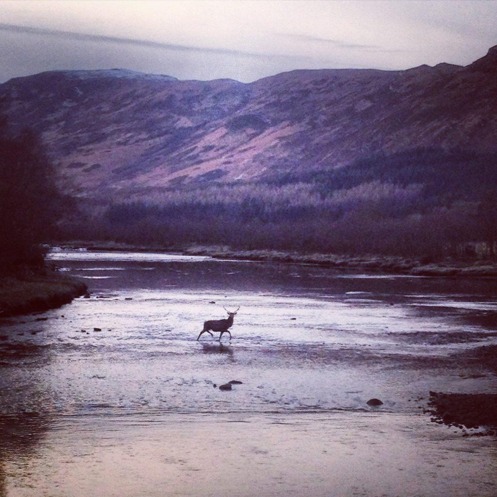 Red deer crossing River Elchaig