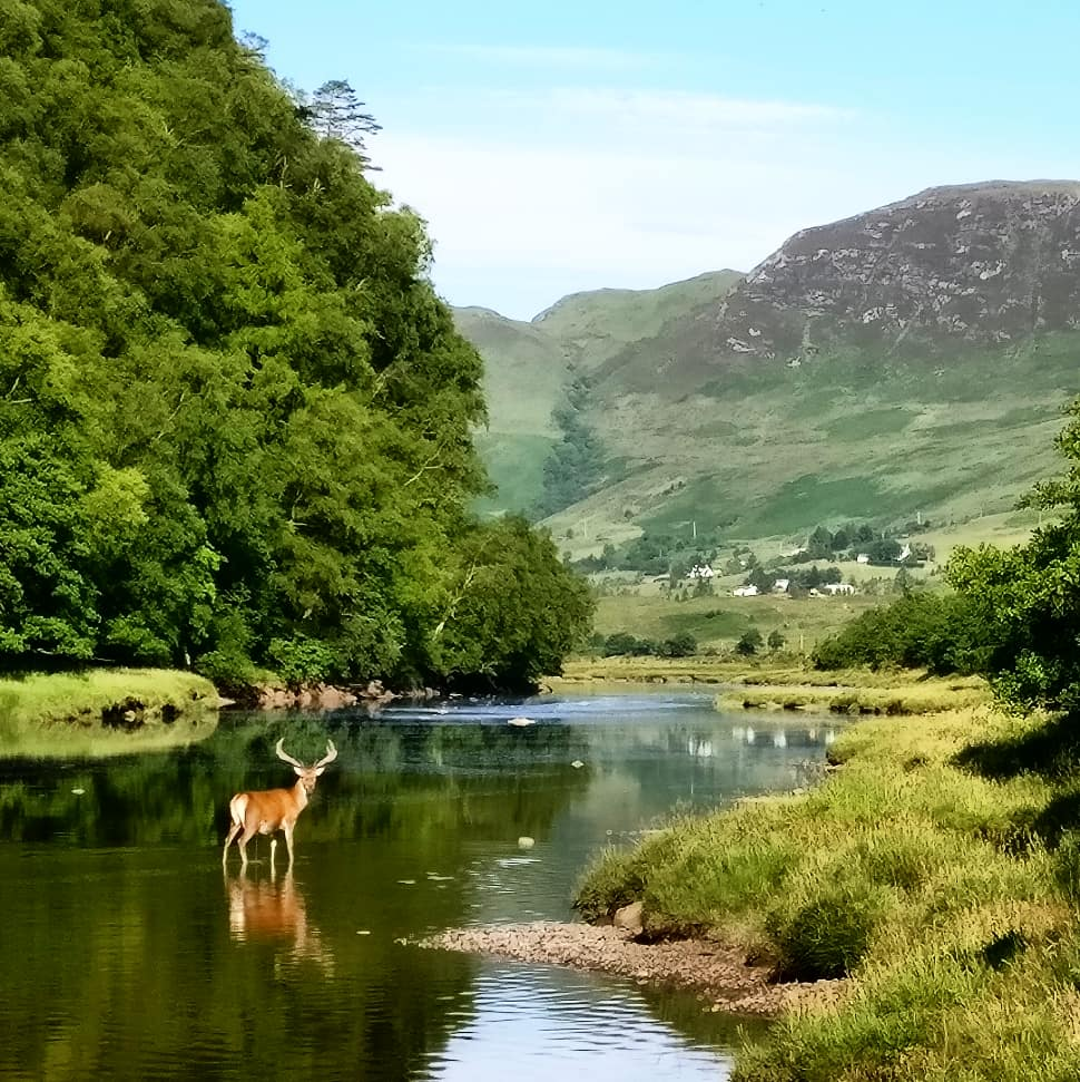 Stag crossing River Elchaig in the summer